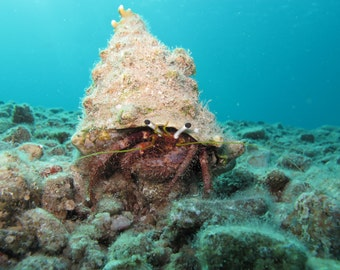 Download digital photo - A Hermit crab in the coral reefs of the Red Sea