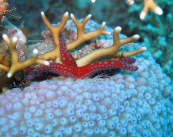 Download digital photo - Sea Star and Coral from the coral reefs of the Red Sea