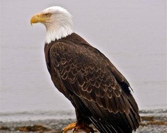 """Bald Eagle print Homer Alaska driftwood """"The Majectic Bald Eagle"""""""