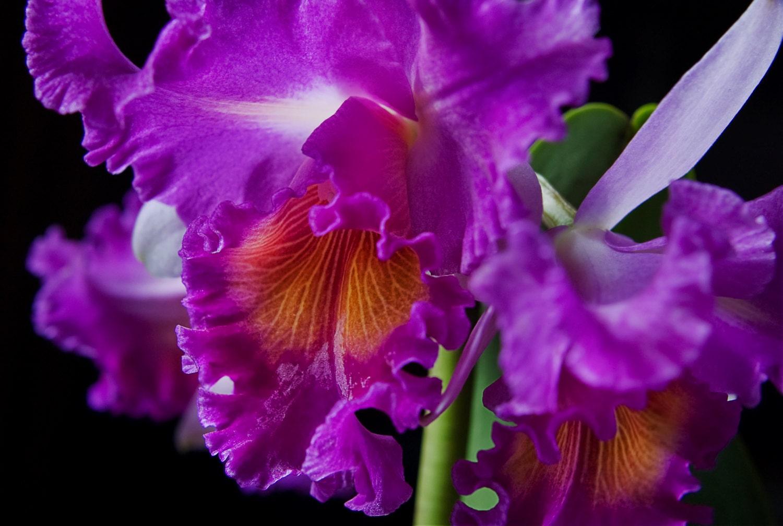 Purple orchid print cattleya fuschia macro flower for Orchidea cattleya