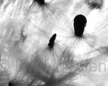"""Black-and-White 4""""x6"""" Nature Photo in 5""""x7"""" mat ~ Milkweed Seeds or Petunia ~ Matted and ready to frame"""