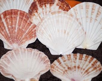 Wholesale Irish Flat Seashells | Irish Flat Shells | Craft Shells
