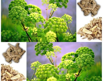 15 x Garden Angelica Seeds - Angelica archangelica - AKA Holy Ghost, Norwegian angelica - Vegetable & Medicinal Plant