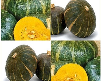 10 x BURGESS BUTTERCUP Squash seed - BEST Flavor ~ 4-5 lbs size with a Turin shape - 110 Days