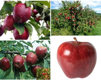 Red Delicious Apple - Starking variety - Apple Tree / 10+ fresh seeds