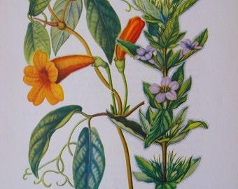 Cross-vine, Bignonia and Ruellia, Ruellia humilis, Vintage illustration flower print
