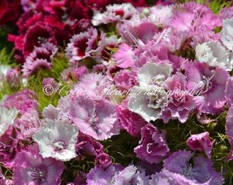 English Sweet Williams - Fine Art Nature Photography, Flower, Nature, Home Decor