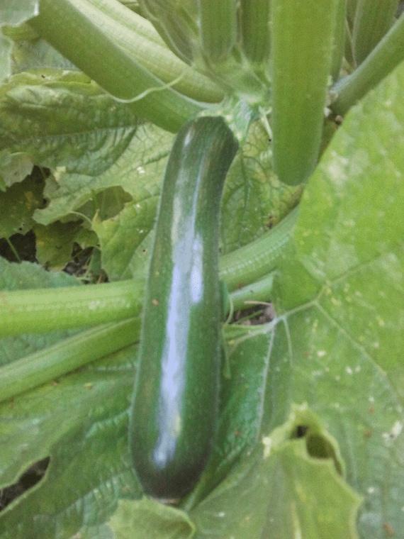 Squash: Dark Star Zucchini