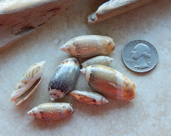 7 Pieces - Agaronia Sea Snail Shells - Cabochons
