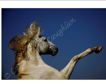 "Equine Fine Art Horse Photography Cheval Etalon  Photographie d'Art : ""Adhar"" , Lusitano Stallion"