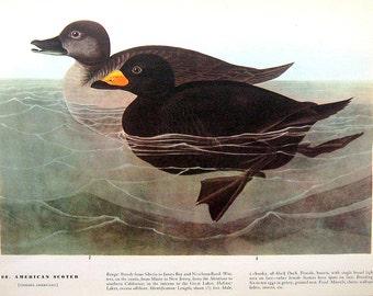 Audubon Birds-American Sooty Albatross, American Scoter-12 x 9-Vintage Print 1942