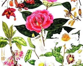 Camellias - Botanical Print - Vintage Flower Print 1988 p101