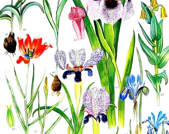 Tulip, Iris Flower Print - 1988 Vintage Botanical Print  p52