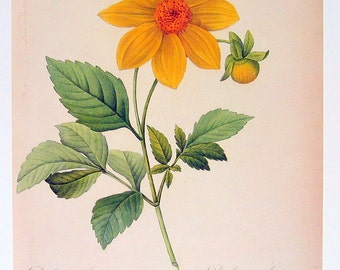 Dahlia - Redoute Flower Print - 1979 Vintage Flowers Book Plate Print p272