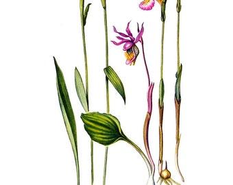 Botanical Print - Rose Pogonia, Calypso, Swamp Pink - 1954 Vintage Book Page - 11 x 8
