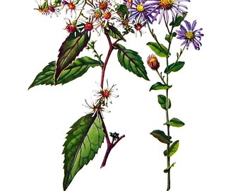 White Aster, Late Purple Aster Flowers - Botanical Print - 1954 Vintage Book Page - 11 x 8