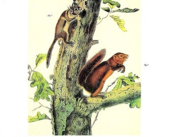 Fremont's Squirrel, Sooty Squirrel - Audubon Animal Print -  1989 Vintage Book Page for Framing  - Naturalist Illustration