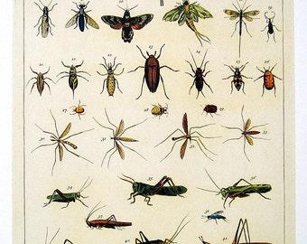 Insects Print - Seba Book Print Cabinet of Natural Curiosities - 13 x 9