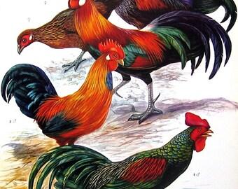 Bird Print - Jungle Fowl, Russian Orloff, La Fleche Fowl, Augsburg Fowl, Cornish Game - 1973 Vintage Encyclopedia Book Page - 10 x 7