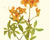 Flower Print - Flame Azalea - Vintage Wild Flower Print - Botanical Book Print - Wild Flowers of America - Mountain Azalea - Mary V Walcott
