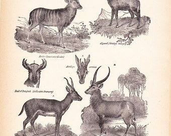 1892 Animal Print - Antelopes - Vintage Antique Home Decor Book Plate Art Illustration for Framing 100 Years Old