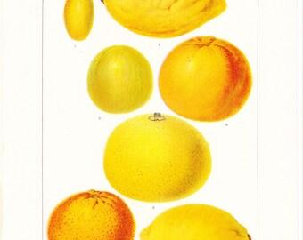 1917 Fruit Print - Citrus Orange Lemon Lime - Vintage Antique Food Art Illustration Book Plate Great for Framing 100 Years Old