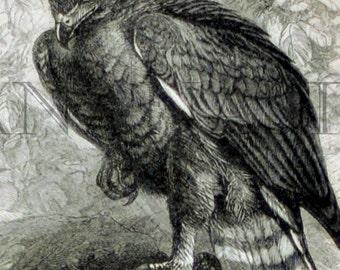1897 Vintage Print of Eagles -  Antique German Engraving of Eagles 2