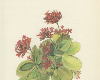 Cathedral Bells, Air Plant, Vintage Botanical Print, 8 x 10, Indoor Plant, Red Flower, Illustration 1968/83, Country Cottage Decor
