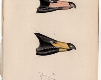1901 IBIS BIRD LITHOGRAPH bird anatomy original antique print of beaks
