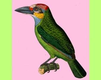 antique french illustration colorful bird tucan golden whiskered bardet digital download