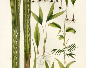 Sale Botanical  Book plate of Palm, Large for Framing Buy 3, get 1 Free