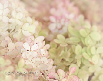 Pretty hydrangea-flower photography - flower photo- cottage garden photo-pastels (5 x 7 Original fine art photography prints) FREE Shipping)