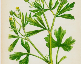 1857 Antique BOTANICAL print, chromolithograph of a celery leaved crowfoot. Poisonous plant