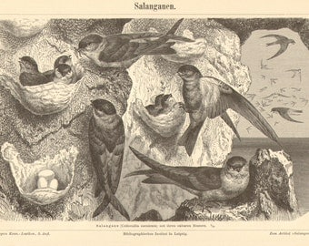 1897 Original Antique Engraving of Glossy Swiftlets