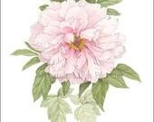Pale Pink Peony, Small Giclee Print