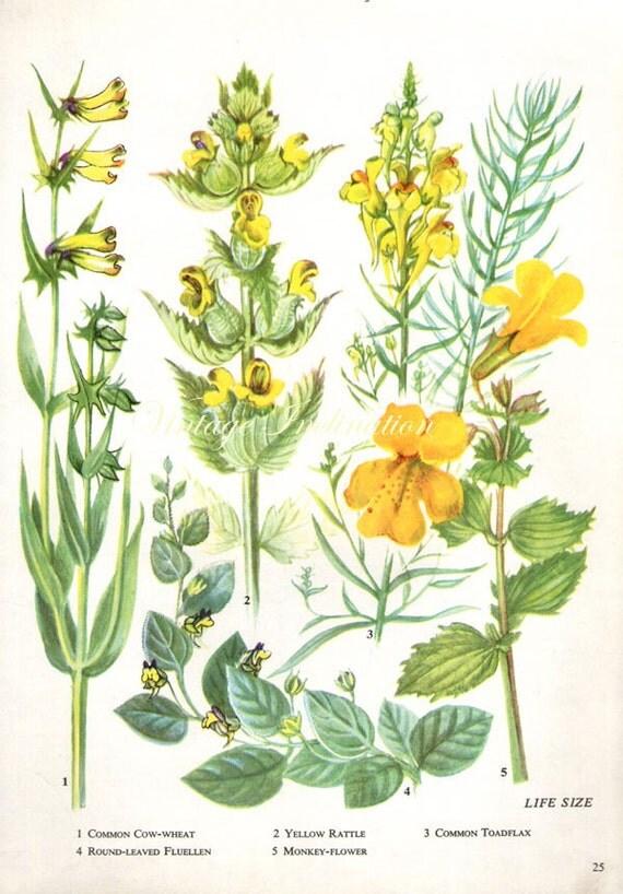 herbs yellow rattle vintage botanical print antique plant