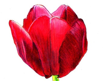 """Tulip Print:  digital print of an original drawing available 5x7"""" or 8x10"""""""