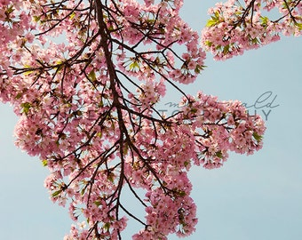 Serendipitous - Photographic print Pink, Cherry Blossom, Spring, Romantic, Festival, Washington, D.C., Romantic, Floral, Shabby, Cottage,