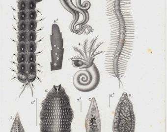 1849 SEA LIFE Original antique fine print. sea creatures, annelids, coral reefs