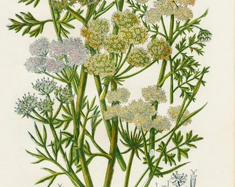 1870 BOTANICAL Original antique print, green herbs, grass, Dropwort, parsley