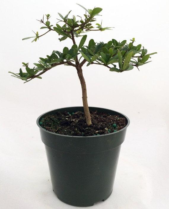 Dwarf Black Olive Pre Bonsai Tree Great Indoors 4