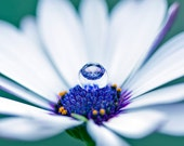 Daisy with Water Drop Photography Art Print Purple White