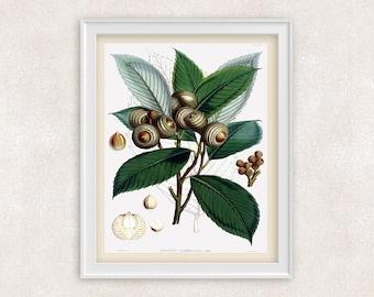Acorn Botanical Art Print - Home and Garden - 8x10 PRINT - Wall Decor - Item #124