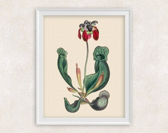 Carnivorous Plant Botanical Art Print - Pitcher Plant - 8x10 PRINT - Garden Prints - Illustration - Poster - Victorian Art - Item #158