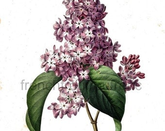 antique french botanical illustration lilac flowers DIGITAL DOWNLOAD
