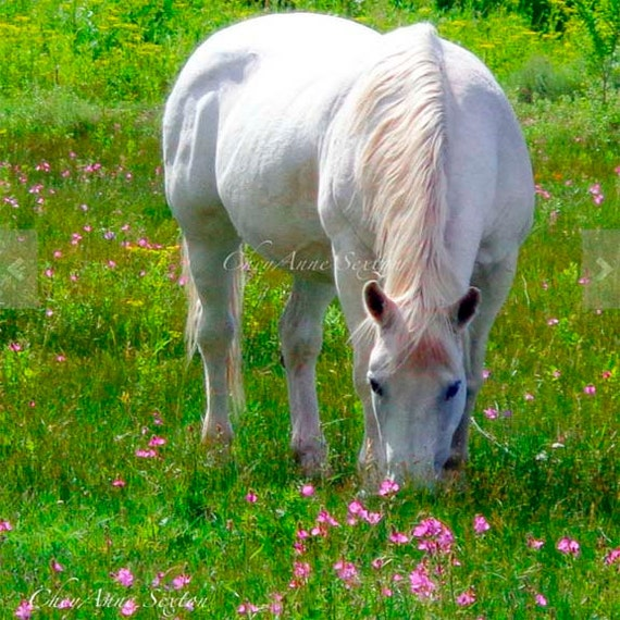 White Horse pink flower meadow grazing equine wildflowers summer day photography print 8x8