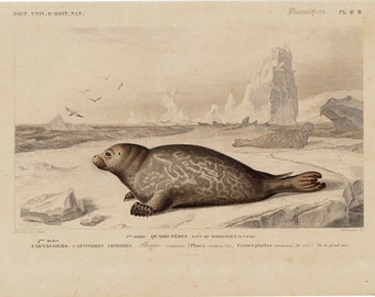 1869 antique SEAL fine engraving of a seals in the artic by Charles D'Orbigny and Edouard Traviès, 143 years old nice fine print