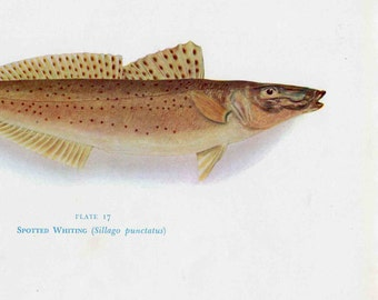 Spotted Whiting Fish print, 1955 Australian Fish print, fathers day gift