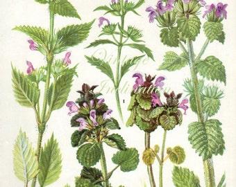 HERBS HEMP NETTLE herbs Vintage Botanical Print Antique, plant print 149 botanical print, bookplate art print, herb plants plant wall print