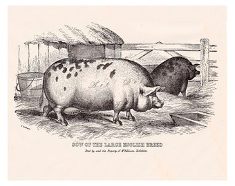 antique pig print, from the 1900's, printable digital download art no. 703